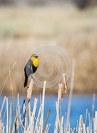 Free Yellow Headed Blackbird Royalty Free Stock Images - 115975519
