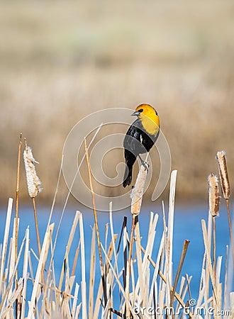 Free Yellow Headed Blackbird Stock Photo - 115975530