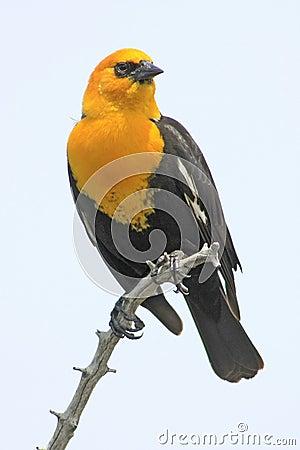 Free Yellow-headed Blackbird Stock Photos - 15023973