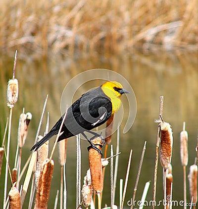 Free Yellow Headed Blackbird Stock Photography - 7769052