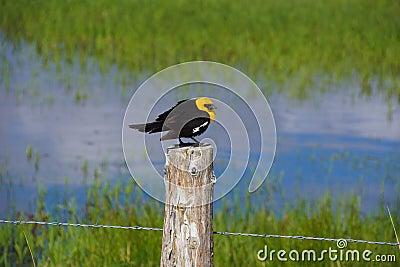 Yellow Headed Blackbird (Xanthoocephalus xanthocephalus)