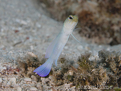 Yellow headed jawfish, roatan, honduras