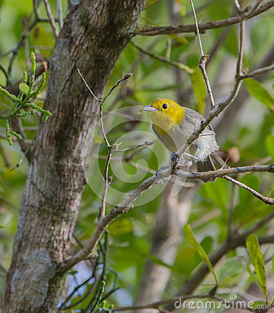 Yellow-headed Warbler on a branch Stock Photo
