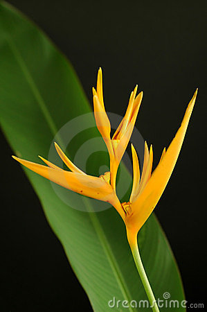 Yellow heliconia
