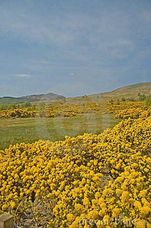 Yellow of the hills