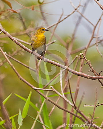 Yellow-hooded Blackbird on twig