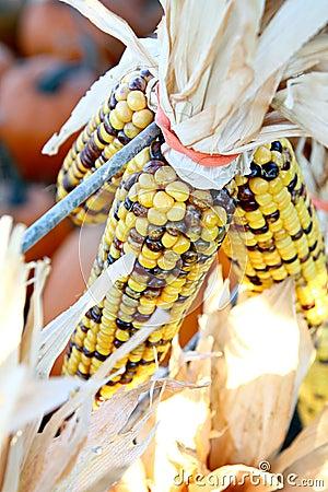 Yellow Indian Corn