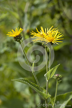 Free Yellow Inula Royalty Free Stock Images - 44660559