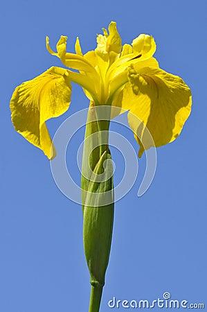 Free Yellow Iris Royalty Free Stock Photo - 11086095