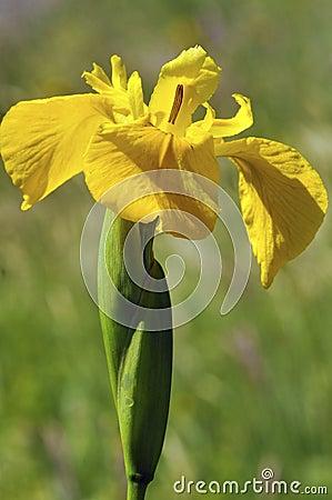 Free Yellow Iris Royalty Free Stock Photos - 22987848