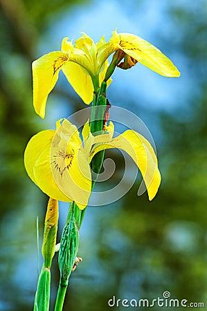 Free Yellow Iris Stock Photography - 24751872