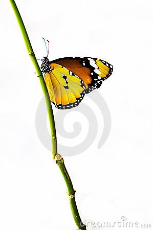 Yellow isolated butterfly on a branch