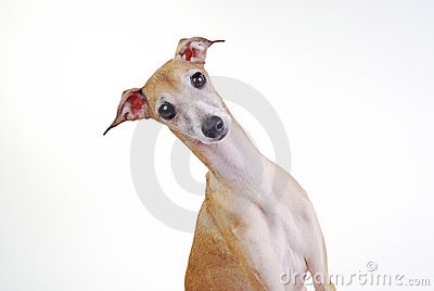 Yellow Italian greyhound