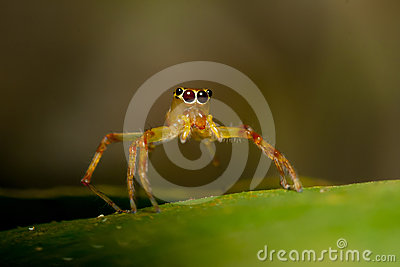 Yellow jumper spider