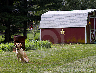 Yellow Lab in Country