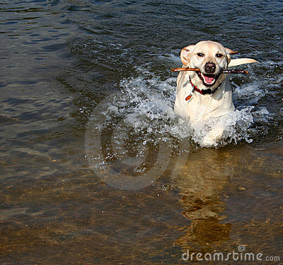 Free Yellow Lab In Water Royalty Free Stock Photo - 2880975