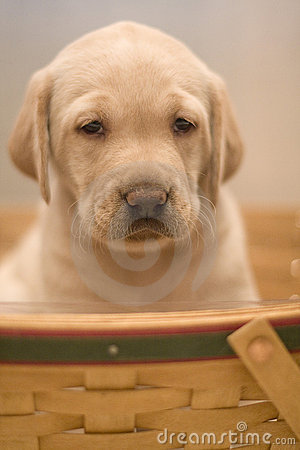 cute yellow lab dogs. Yellow lab pup in a basket.