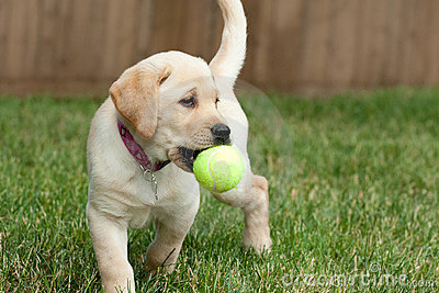 Yellow Lab Puppy Playing