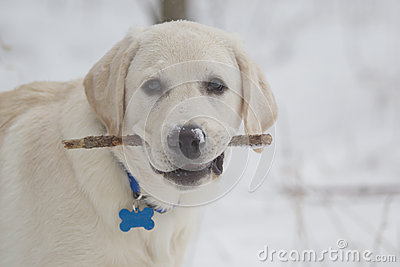 Yellow Lab Puppy with Stick in Mouth