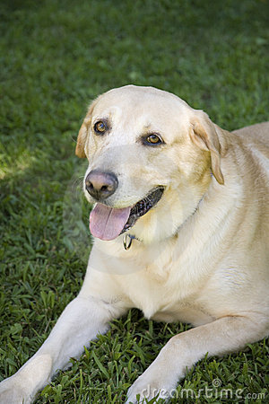 Free Yellow Labrador Royalty Free Stock Image - 6483226