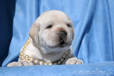 Yellow labrador puppy on blue