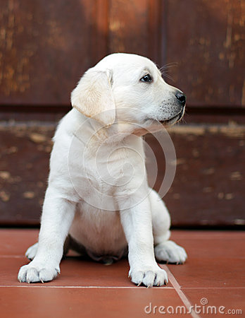 Yellow labrador puppy at the door