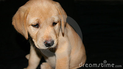 Yellow labrador puppy2