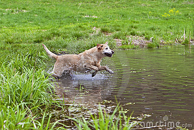 Yellow Labrador Retriever Diving.