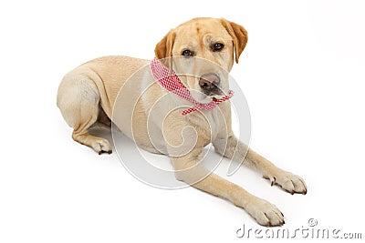 Yellow Labrador Retriever Dog Laying Down