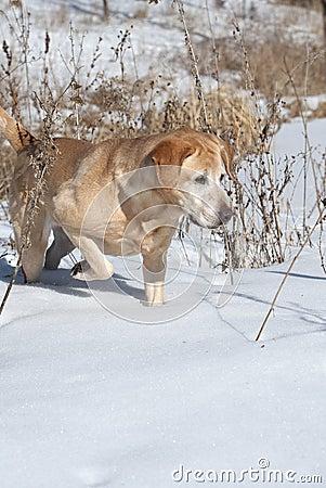Yellow Labrador Retriever Pointing