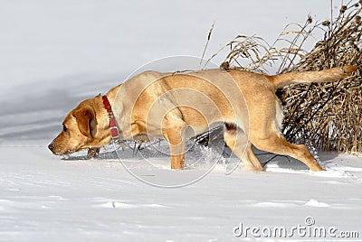 Yellow Labrador Retriever tracking