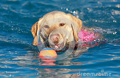 Yellow Labrador swimming with his ball