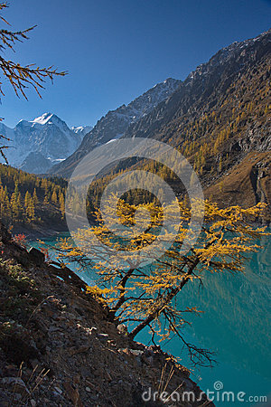 Free Yellow Larch Against The Background Of Turquoise Water Of The Lake And A Mountain Landscape Stock Photo - 86609030