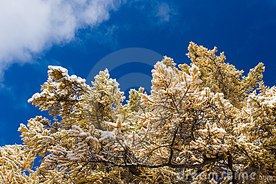 Yellow larch under snow