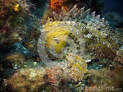 Yellow largescaled scorpionfish