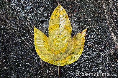 Yellow Leaf on a Black Rock
