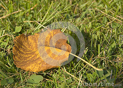 Yellow leaf on grass background