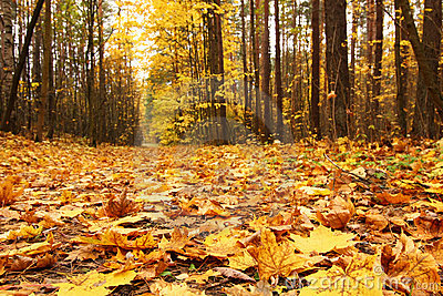 Yellow leaves in autumn forest
