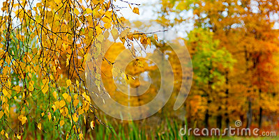 Yellow leaves on a branch