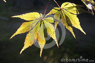 Yellow leaves of the maple trees