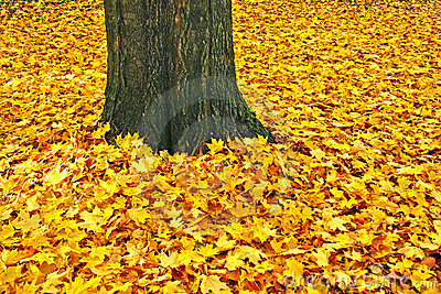 Yellow leaves and trunk of a sugar maple