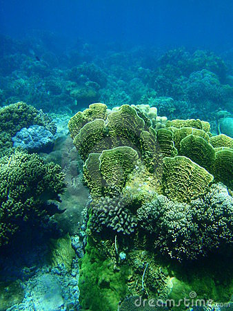 Free Yellow Lettuce Coral Stock Image - 11009231