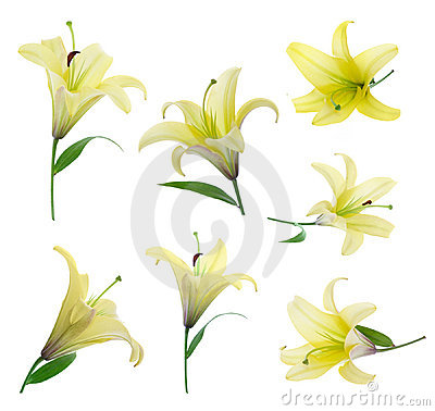 Free Yellow Lily Stock Photography - 2571432