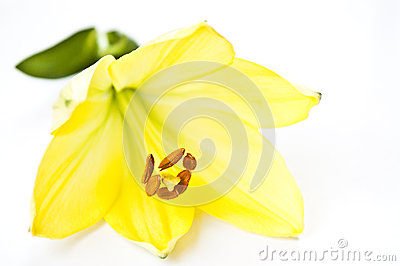 Yellow lily flower on white background