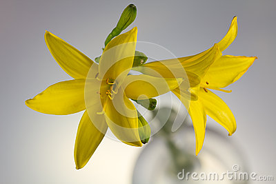 Yellow Lily on a grey background, close up shot
