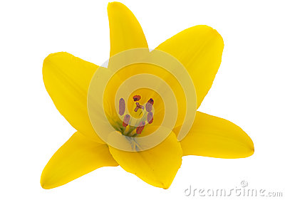 Yellow lily isolated