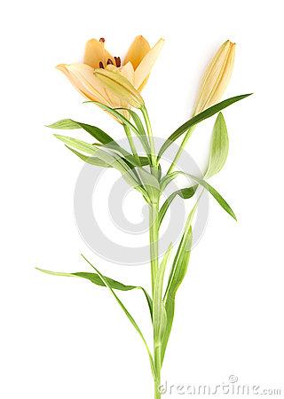 Free Yellow Lily Lilium Flower Isolated Royalty Free Stock Photography - 54117047