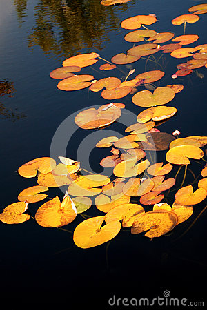 Free Yellow Lily Pads On The Surface Of A Pond. Stock Photos - 68133943