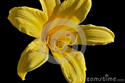 Yellow Lily in the Sunlight