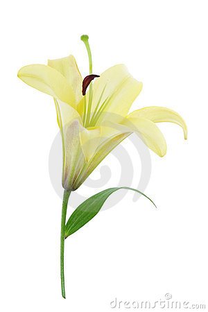 Free Yellow Lily (with Clipping Path) Stock Image - 1793121